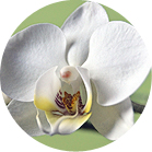 sing white orchid